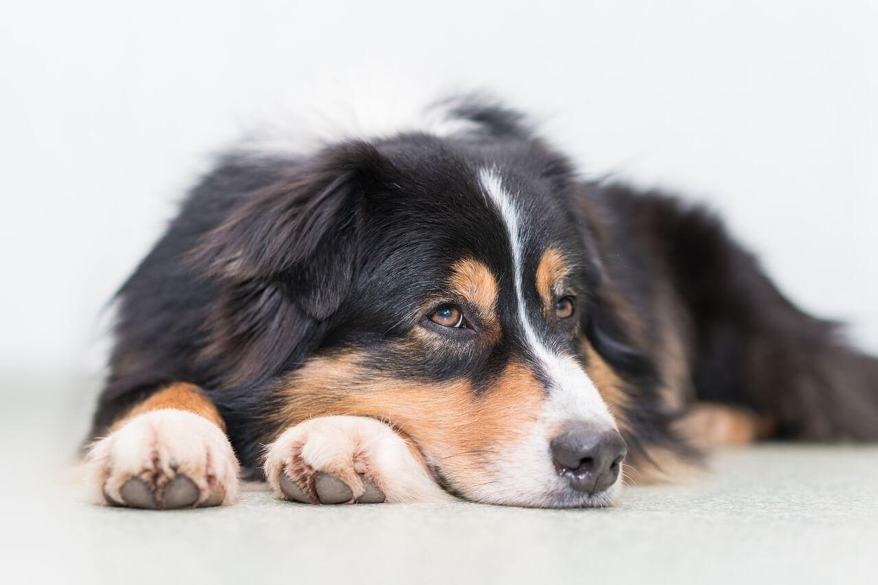 dieta de eliminacion en perros